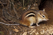 Eastern Chipmunk Photo