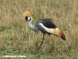 Gray Crowned Crane photo