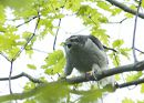 Photo of Alarmed Northern Goshawk Calling