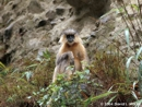 Golden Langur photo