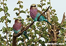 Lilac-breasted Roller Photo