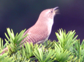 Photo of singing House Wren